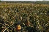 Land under pineapple production at Kakuzi